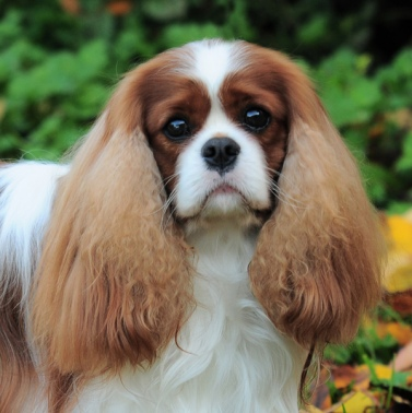 CH, BD at Crufts`14 Charalier Dress to the Nines for Charlesworth Clear Heart Doppler, Eyes, Patella and MRI