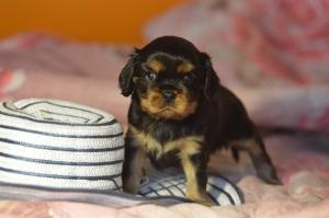 Black and tan puppy boy