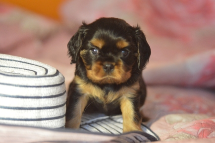 Black and tan puppy girl
