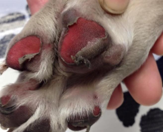 Karsts asfalts nodara kaitējumus suņa ķepām!