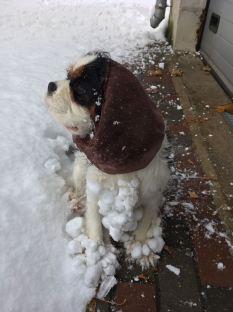 Kavaliera Karaļa Čārlza spaniels ar sniega pikām kažociņā, Sunny