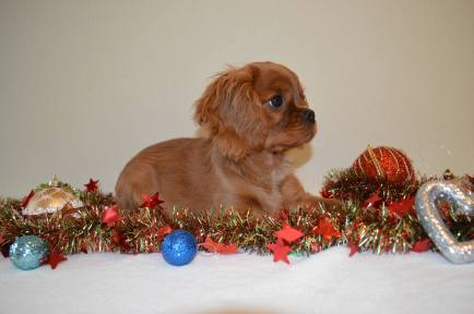 cavalier-king-charles-spaniel-puppy-for-sale