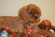 ruby-cavalier-king-charles-spaniel-puppy
